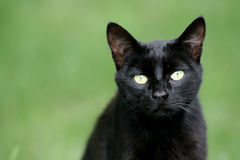 Black Cat. In green blured background Royalty Free Stock Photo