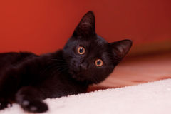 Black cat. Young black cat looks at the camera Stock Images