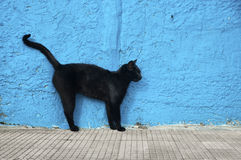 Black cat. With blue wall background. Alert position stock image