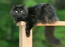 Black cat. Full picture of a black cat Stock Photos