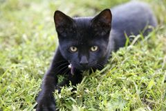 Black cat. Black kitten with green eyes laying down and stalking something in the grass Stock Photography