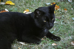 Black cat. Still lay on the grass Stock Photography