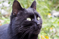 Black cat. Animals and pets Royalty Free Stock Image
