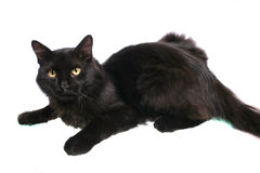 Black cat. Photo of a black cat on a white background stock images
