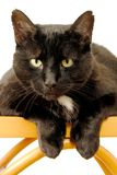 Black Cat. A handsome black cat staring at the camera Royalty Free Stock Image