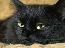 Black cat. Lazy black cat on the sofa royalty free stock images