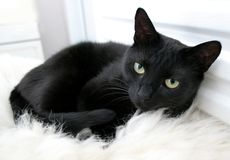 Black cat. Black home cat, Canon EOS 350D Stock Photography
