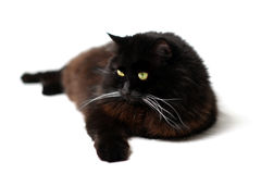 Black cat. Isolated on white royalty free stock photography