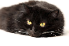 Black cat. Isolated on white Stock Photos