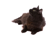 Black cat. Pretty black cat on white background looking up royalty free stock image