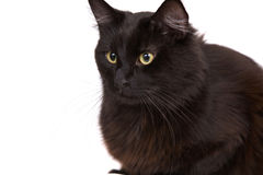 Black cat. Cute black cat sitting on white background with big yellow eyes royalty free stock photography