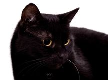 Black cat. Isolated on white stock images