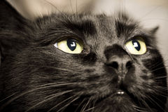 Black cat. Domestic animals: close-up of cat eyes royalty free stock photography