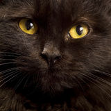 Black cat. The face of a black cat royalty free stock photography