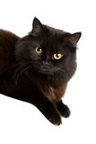 Black cat. Portrait of a cute black cat isolated Stock Photography