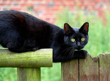 Black cat. A lucky black cat ready to jump stock photo