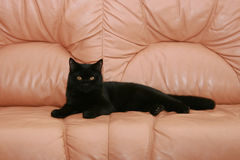 Black cat. The black cat lays on a brown sofa from a leather royalty free stock images