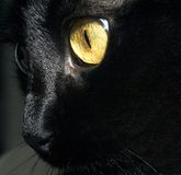 Black cat. Black whiskers royalty free stock photography