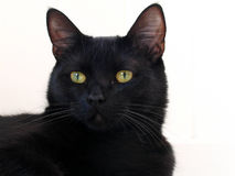 Black Cat. On a white background Royalty Free Stock Photo