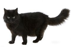 Black Cat. A fluffy black cat in the studio Stock Photography