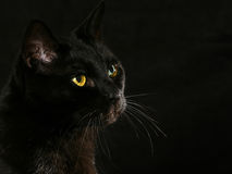 Black cat. On black background royalty free stock photos