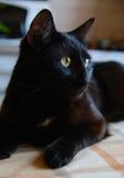 Black cat. Close up portrait of a black cat royalty free stock photos