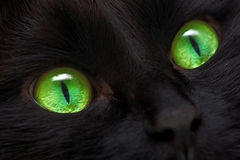 Black cat. The black domestic cat looks directly. The cat's look stock image