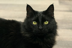 Black Cat. Black adult cat with wood back ground Royalty Free Stock Photography