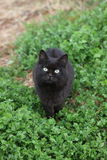 Black cat against Green background Tashirojima Japan Stock Photography
