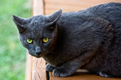 Black cat on alert Stock Photography