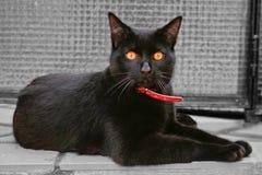 Black cat amber eyes Royalty Free Stock Image