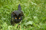 Black cat in ambush outdoors Stock Photo