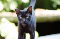 Black cat. With angry look and evil green eyes Royalty Free Stock Photo