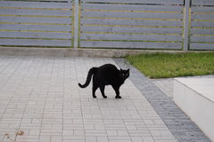 Black cat with arched back Royalty Free Stock Photos