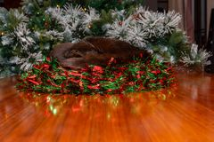 Black cat asleep in Christmas wreath. royalty free stock photography