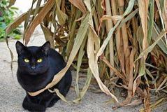 Black cat in autumn corn stalk Stock Photos