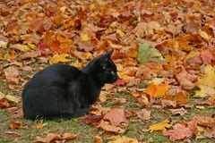Black cat in autumn leaves Royalty Free Stock Photo