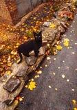 Black cat. Autumn  road blackcat stock photography