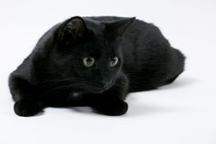 Black Cat. Balck cat with green eyes lies in front of a white background Royalty Free Stock Photo