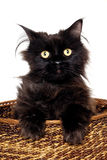 Black cat in a basket Stock Images