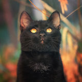 Black cat. Beautiful black cat staring at the sun Royalty Free Stock Photo