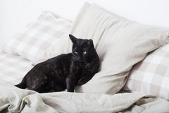 Black cat on bed. In bedroom stock image