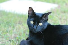 Black cat sitting in grass. Black cat with bent ear and green eyes sitting in green grass staring Stock Photos