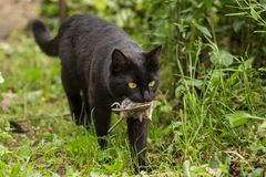 Black cat with a bird caught in the mouth Stock Photos