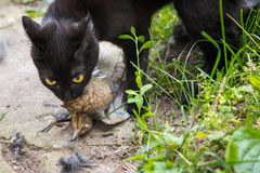 Black cat with a bird in the mouth. Black cat with a bird caught in the mouth Royalty Free Stock Images