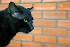 Black Cat. With brick wall background Royalty Free Stock Photos