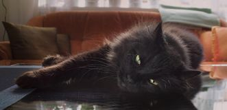 Black Cat. Relaxing in the living room royalty free stock image