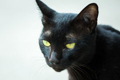 Black cat. Staring eyes commitment Stock Photography
