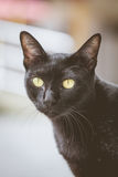 Black cat. Staring eyes commitment Royalty Free Stock Photography