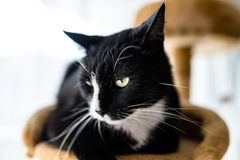 A black cat with a black and white snout, lies on a brown, cat scratcher inside the home. A black cat with a black and white snout, lies on a brown, cat stock image